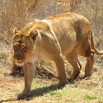 One of the female lions