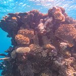 Pavona Coral