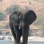 Magnificent elephant on the Chobe River Cruise