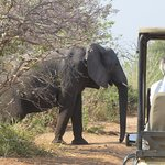 One of the many elephants that crossed in front of us.