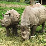 Chester Zoo. African Black Rhinos