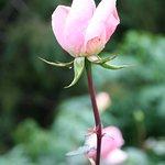 Rose !!