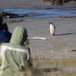 A yellow eyed penguin returning home, much to the enjoyment of the people on tour.