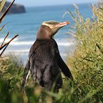 Yellow eyed penguin enjoying the sun.