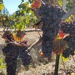 Фотография Rosella's Vineyard and Winery