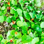 Nasturtium in the cottage garden