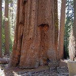 Foto de Tuolumne Grove of Giant Sequoias