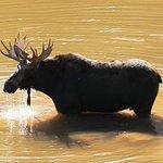 Bull Moose, Grand Teton National Park.