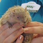 Kintona (lesser hedge hog tenrec) Presentation at The Animal Hospital.