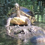 Turtle riding on a gator's head.