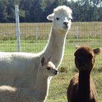 A few of the 35+ alpacas at the farm.