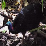 This cassowary walked right under the bridge we were standing on.