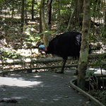 The cassowary family crossed our path twice during the walk.