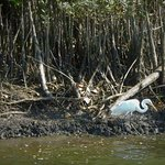Egret by the Daintree River
