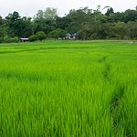 in the way to the elephants you will see amazing rice fields, so beautiful