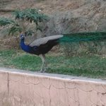 our national bird at park