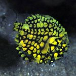 Rare pineapple fish on Aliwal Shoal