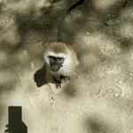 Vervets monkey