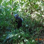tropienie goryli w Bwindi Impenetrable NP
