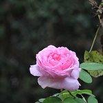 An Antique Rose from the Garden