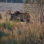 moose spotted during Grand Teton tour