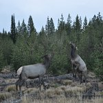 early morning siting of 2 elk not happy with each other