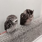 Photo of Owl cafe Akiba Fukurou