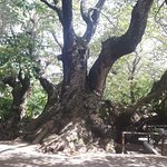 The Tree which is more than 1000 years old
