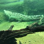 The large saltwater crocodile in the zoo's last enclosure.