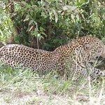 Leopardo, difícil de ver; vimos tres, dos de ellos de luna de miel.