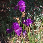 The final blooming of Irises!