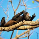 Mono aullador , uno de los mas comunes de las 4 especies de Costa Rica