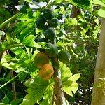 Fresh papaya (pawpaw) anyone?