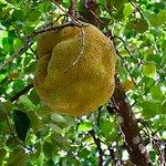 Jackfruit. An interesting looking fruit but it is yummy