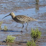 Curlew at Titchwell