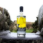 Gorse Gin from locally selected gorse bushes