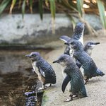 See our famous Little Penguins - who will be the Naughty and Good Penguin?
