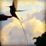 """""""Doctor Bird"""" - many long tailed hummingbirds spin by"""