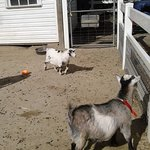 Goats to pet--a happy time waiting to happen for visitors.