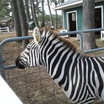 No two zebras are alike, but, sure are cool to look at and pet.