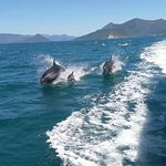 Dolphins alongside the Pelorus Mail Boat