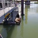Sea Lions hanging out on the dock in Old Sacramento