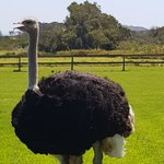 Photo of Cape Point Ostrich Farm