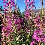 Geiterams florer pynter opp både fjellet og bygda store deler av sommeren.