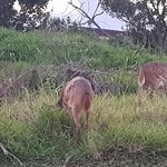 Buck grazing just outside our unit
