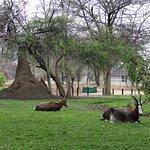 oryx au repos