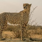 Gepard beim Spaziergang mit Gaparden