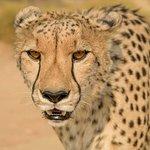 Gepard beim Spaziergang mit Geparden