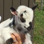 Maui Goat Yoga의 사진