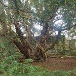 Fortingall Yew Fotografie